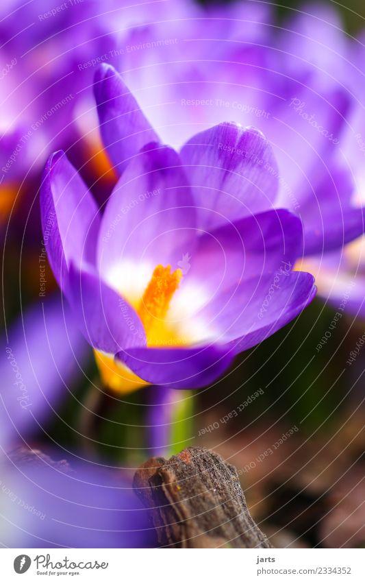 früh-ling Natur Frühling Schönes Wetter Pflanze Blume Blüte Garten Park Wachstum Duft frisch natürlich schön Frühlingsgefühle Krokusse Farbfoto mehrfarbig