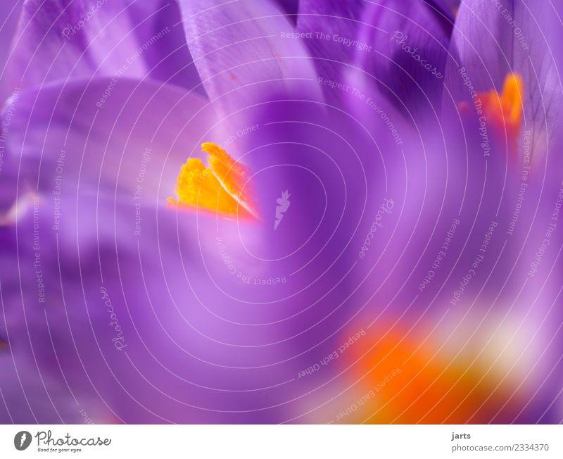 Korkusse IV Pflanze Frühling Schönes Wetter Blüte Garten Blühend Wachstum frisch nachhaltig neu schön violett Frühlingsgefühle Natur Krokusse Farbfoto