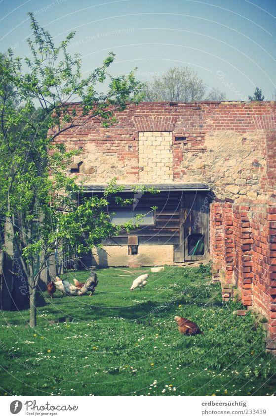 Hühneridyll Natur grün Baum Pflanze Blume ruhig Wiese Ernährung Wand Lebensmittel Gras Garten Glück Mauer Frühling Tiergruppe