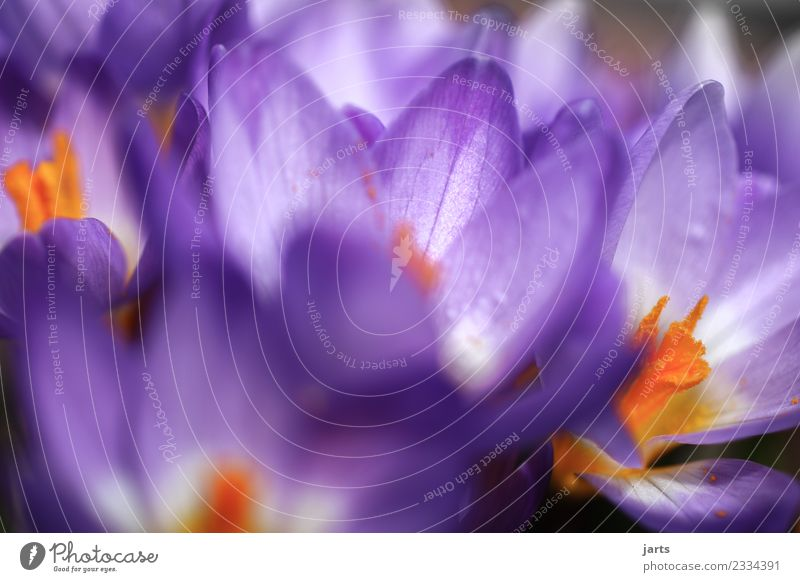 Korkusse III Pflanze Frühling Schönes Wetter Blüte Garten Blühend Wachstum frisch schön natürlich neu violett Frühlingsgefühle Natur Farbfoto Nahaufnahme