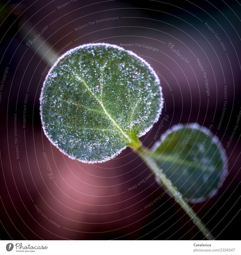 Zuckerrand Pflanze grün weiß Winter schwarz Umwelt kalt Garten rosa Stimmung Design Eis Wachstum authentisch einzigartig Klima