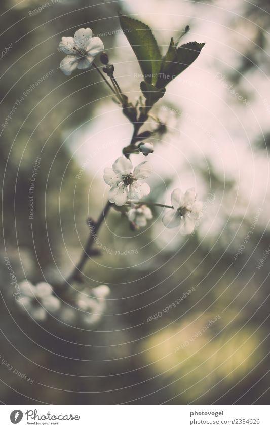 #2334626 Natur Pflanze Blatt Blüte Grünpflanze ästhetisch grün weiß Fröhlichkeit Frühlingsgefühle Vorfreude Begeisterung Euphorie Kraft Willensstärke Blühend