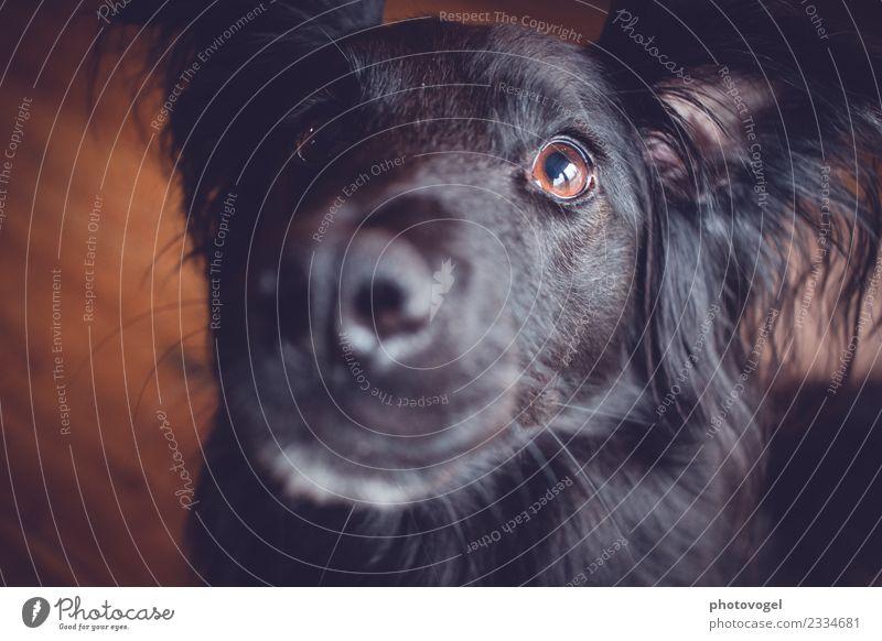 Hundeblick Tier schwarz Auge Liebe braun Warmherzigkeit beobachten Freundlichkeit Neugier weich Haustier Fell Tiergesicht Interesse Sympathie