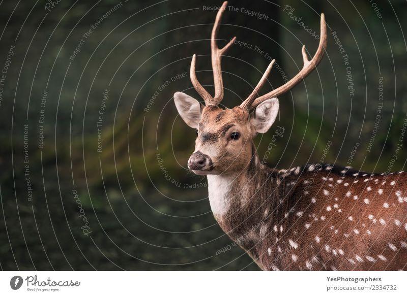 Süßer Damhirsch Hirsch Portrait Mann Erwachsene Natur Park Wald hören lustig natürlich niedlich wild Einsamkeit Deutschland Tiere Horn Bock bedächtig zervikal