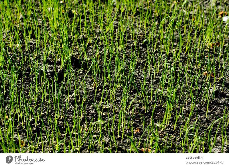 Frisches Gras Natur Pflanze Wiese Gefühle Frühling Klima Wachstum Blühend Optimismus Grünpflanze Frühlingsgefühle sprießen grasgrün Grasspitze