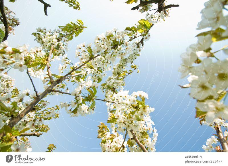 Kirschbaum Natur Pflanze Blatt Blüte Frühling Ast zart Schönes Wetter Blühend Zweig Blauer Himmel Geäst Kirschblüten Zweige u. Äste