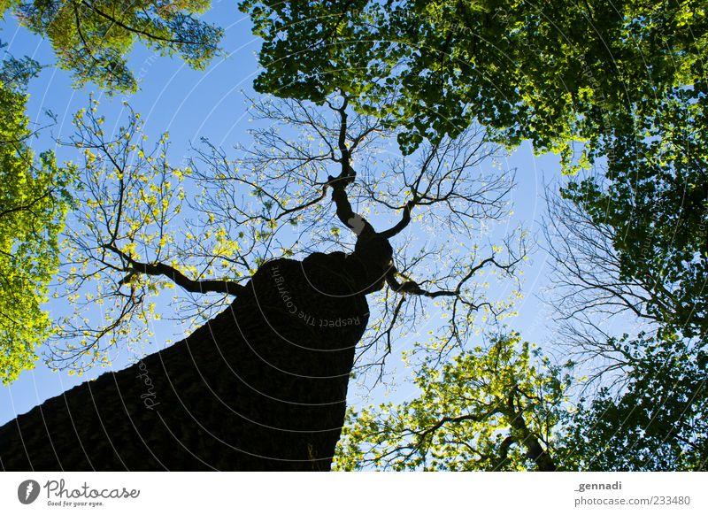 Anders als die Anderen Natur Pflanze Himmel Wolkenloser Himmel Schönes Wetter blau Ast Baumkrone Mai Wald Farbfoto Außenaufnahme Menschenleer Tag Licht Schatten