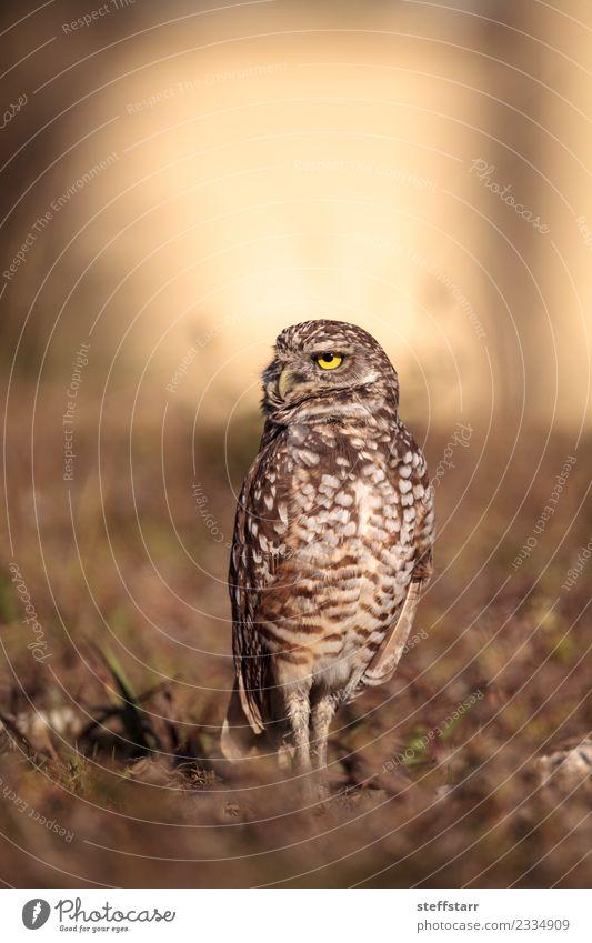 Graue Eule Athene cunicularia Gras Wiese Tier Wildtier Vogel Tiergesicht 1 braun gelb gold Grabende Eule Waldohreule Greifvogel Raptor Erdloch Marcoinsel