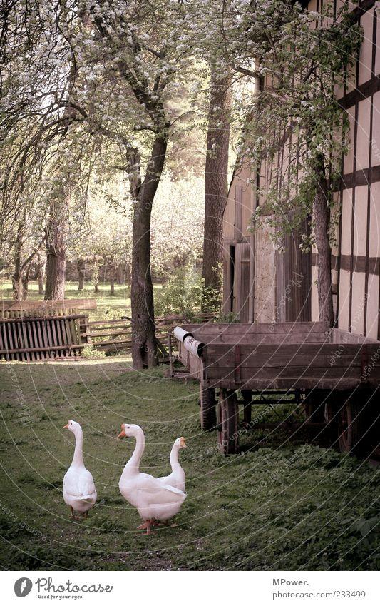 Dorfidylle weiß Baum Pflanze Gras Blüte Stein Frühling gehen 3 Tiergruppe Feder Idylle Landwirtschaft Bauernhof Zaun