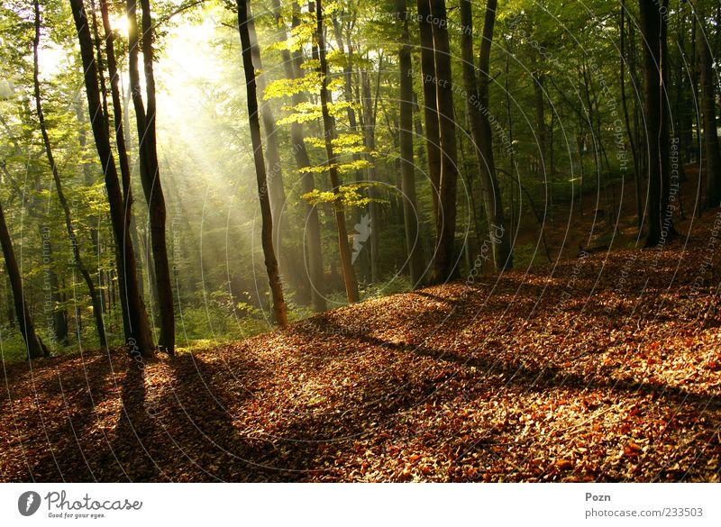 Dämmerung im Wald Leben Sonne Umwelt Natur Landschaft Pflanze Herbst Schönes Wetter Nebel Baum Blatt Park natürlich gelb gold grün Farbe Inspiration Balken Ast