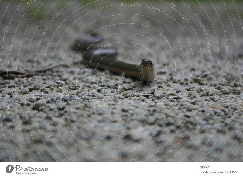 Blindschleiche guckt Auge Stein Kies Schlange Reptil