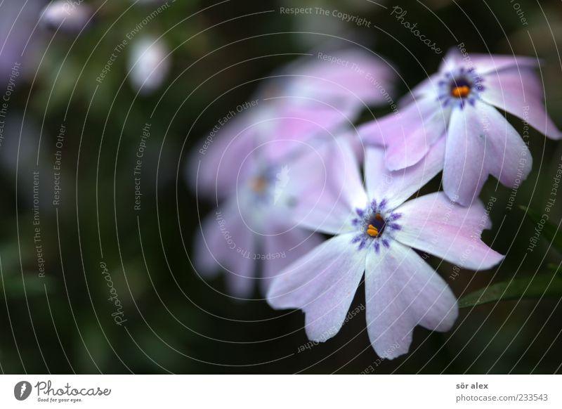 mauve schön Pflanze Blume Blüte Frühling violett Duft Blütenblatt Frühlingsgefühle