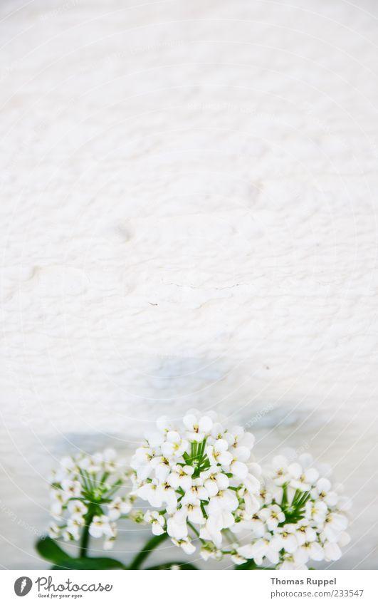 Wandblumen Natur Pflanze Frühling Blume Blüte Grünpflanze Fassade weiß Optimismus Farbfoto Außenaufnahme Nahaufnahme Menschenleer Textfreiraum links