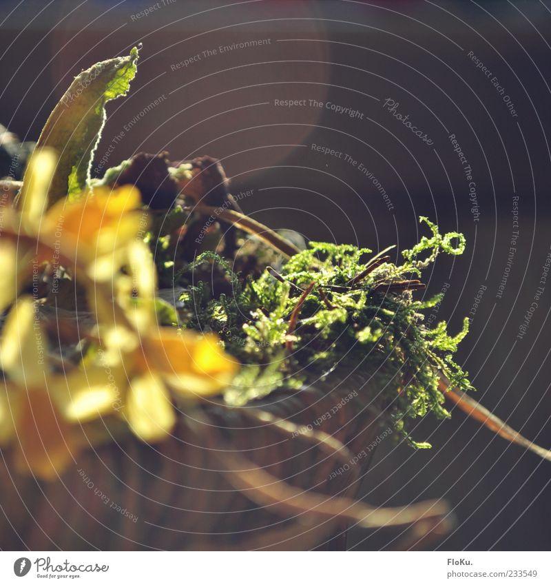 trockenste Ostern seit langem Natur Pflanze Sonnenlicht Blume Moos Blatt Blüte Narzissen braun gelb grün welk Gelbe Narzisse Korb blumenkorb Gesteck Farbfoto
