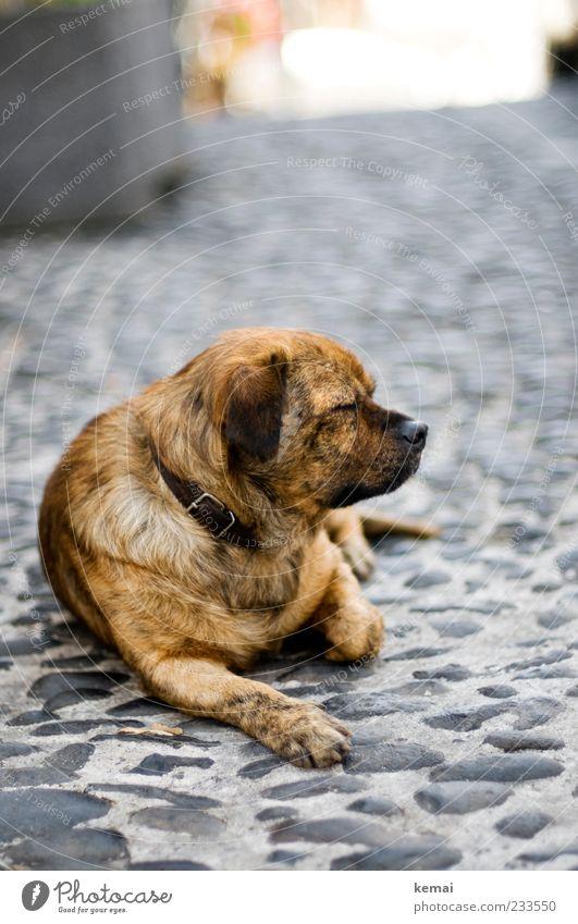 Hundeleben Hund Tier ruhig Erholung Wege & Pfade Stein Kopf braun liegen schlafen Pause Fell Tiergesicht Müdigkeit Haustier Pfote