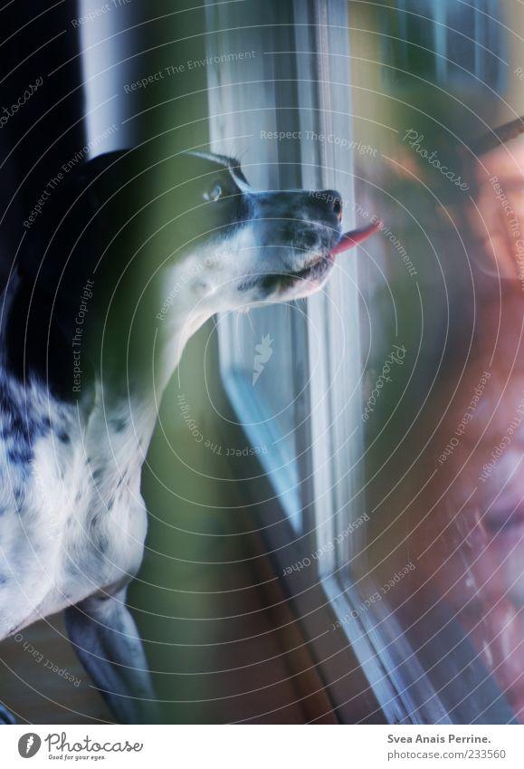 da unten wohnen katzen. Hund Tier Fenster Spielen Bewegung Zufriedenheit Autofenster außergewöhnlich Fell Lebensfreude Fensterscheibe Haustier Zunge lutschen rausstrecken