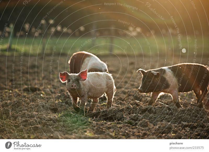 Babe II Natur Feld Nutztier 3 Tier Tiergruppe Tierjunges beobachten Glück natürlich Lebensfreude Neugier Schwein Ferkel Bauernhof Farbfoto Außenaufnahme
