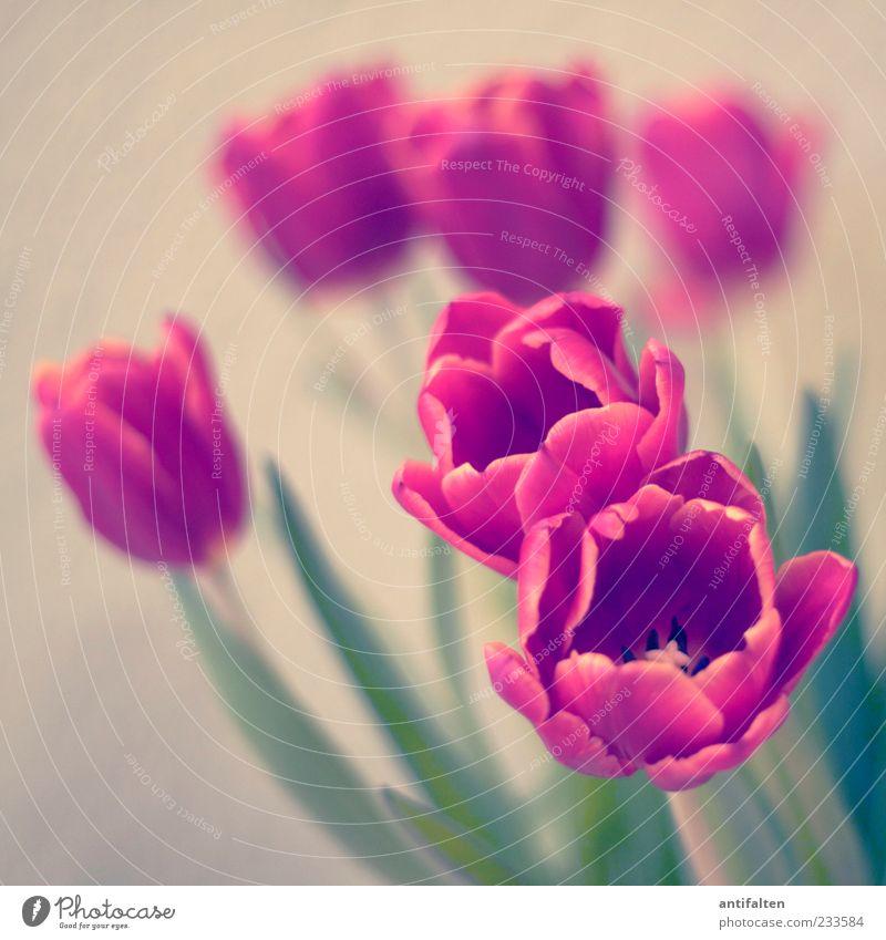 Wie gemalt Natur Pflanze Blume Tulpe Blatt Blüte Dekoration & Verzierung Blumenstrauß Kitsch grün rot weiß beige Stengel trist Farbfoto Innenaufnahme