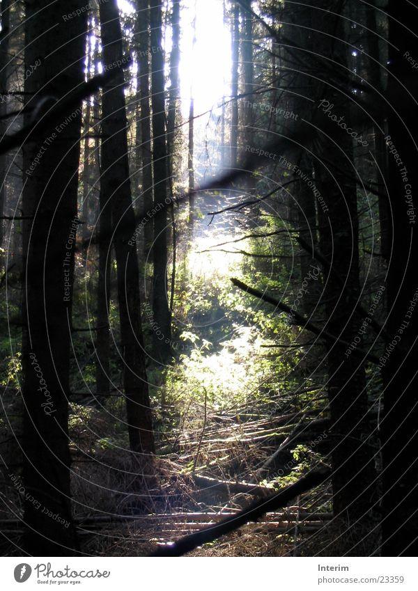 Waldlicht Baum Unterholz Gegenlicht Sonnenstrahlen grün Brennnessel Fichte Tanne