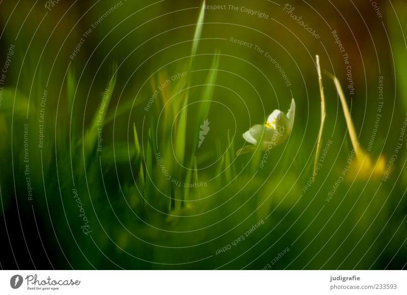 Wiese Natur grün Pflanze Umwelt Wiese Gras Blüte Frühling Stimmung natürlich Wachstum leuchten Vergänglichkeit zart Duft Halm