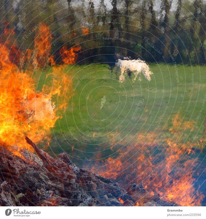 Flimmernde Pferde Feuer Gras Wiese Tier Nutztier 2 heiß grün rot Flamme brennen Osterfeuer Farbfoto Außenaufnahme Wärme Feuerstelle schemenhaft Weide Fressen