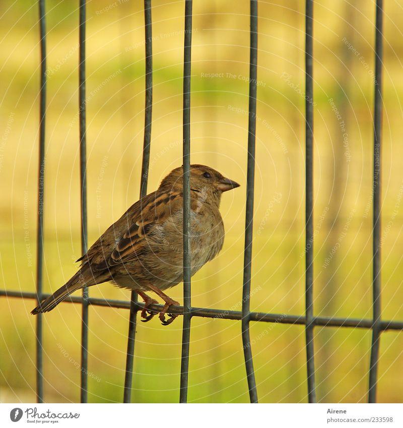 Augen auf und durch! Tier Vogel Spatz 1 Metall beobachten hocken sitzen frech klein Neugier braun gelb grün schwarz Pause Gitter Zaun Bauzaun Drahtzaun Halt