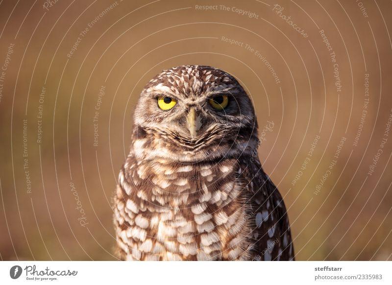 Graue Eule Athene cunicularia Gras Feld Tier Wildtier Vogel Tiergesicht 1 braun gelb gold Grabende Eule Waldohreule Greifvogel Raptor Erdloch Marcoinsel Florida