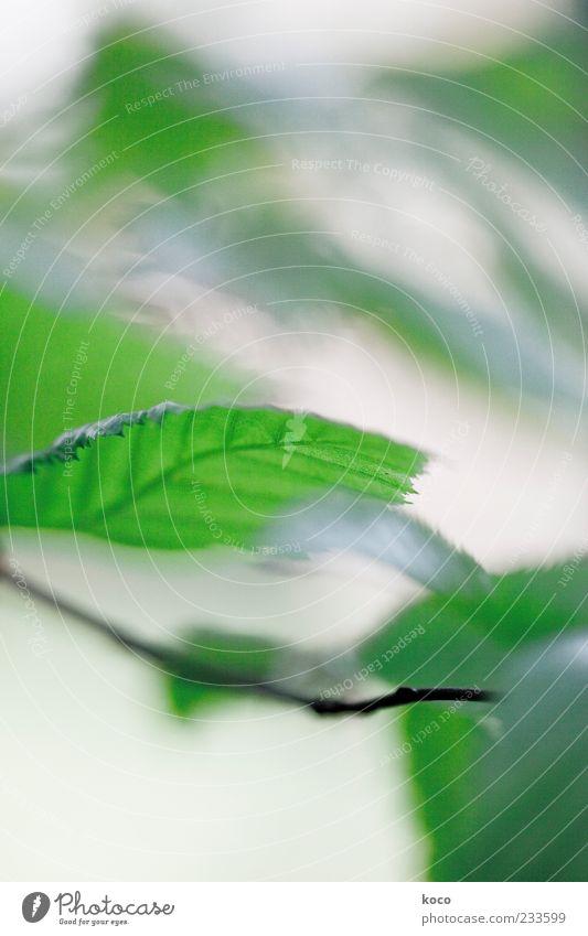 Für Lukow und Edith Natur grün Baum Sommer Farbe Blatt schwarz Bewegung Frühling Wind frisch Wachstum Grünpflanze Blattadern Zweige u. Äste