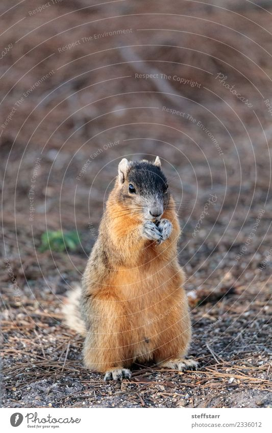 Natur rot Tier Essen braun Wildtier niedlich Tiergesicht Nagetiere Eichhörnchen Dieb Florida