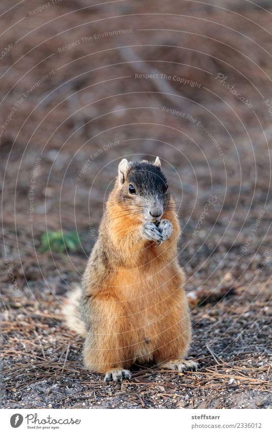 Ostfuchs Eichhörnchen Sciurus niger Essen Natur Tier Wildtier Tiergesicht 1 niedlich braun rot Bryant Fuchs Eichhörnchen Fuchshörnchen Florida Nagetiere