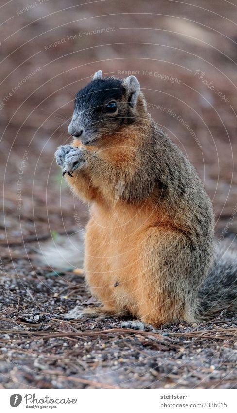 Ostfuchs Eichhörnchen Sciurus niger Essen Natur Tier Wildtier 1 niedlich braun rot Bryant Fuchs Eichhörnchen Fuchshörnchen Florida Nagetiere Tierwelt
