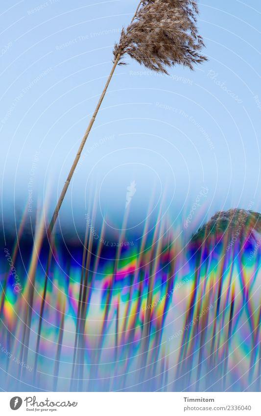 Halm. Alleinstehend. Himmel blau Pflanze Landschaft Winter kalt Gras Feld Wachstum Wolkenloser Himmel kahl Prisma