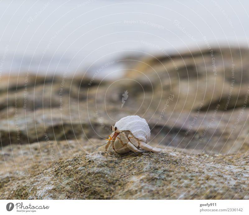 Einsiedlerkrebs II Ferien & Urlaub & Reisen Abenteuer Umwelt Sand Schönes Wetter Felsen Küste Strand Bucht Meer Tier Wildtier Muschel Tiergesicht Fährte