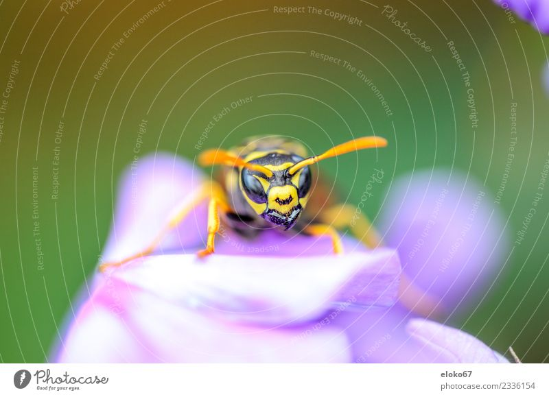Polistes - Closeup Sommer Natur Pflanze springen gelb violet flower wildlife garden bee nectar wasp natural insect beautiful animal bloom meadow season
