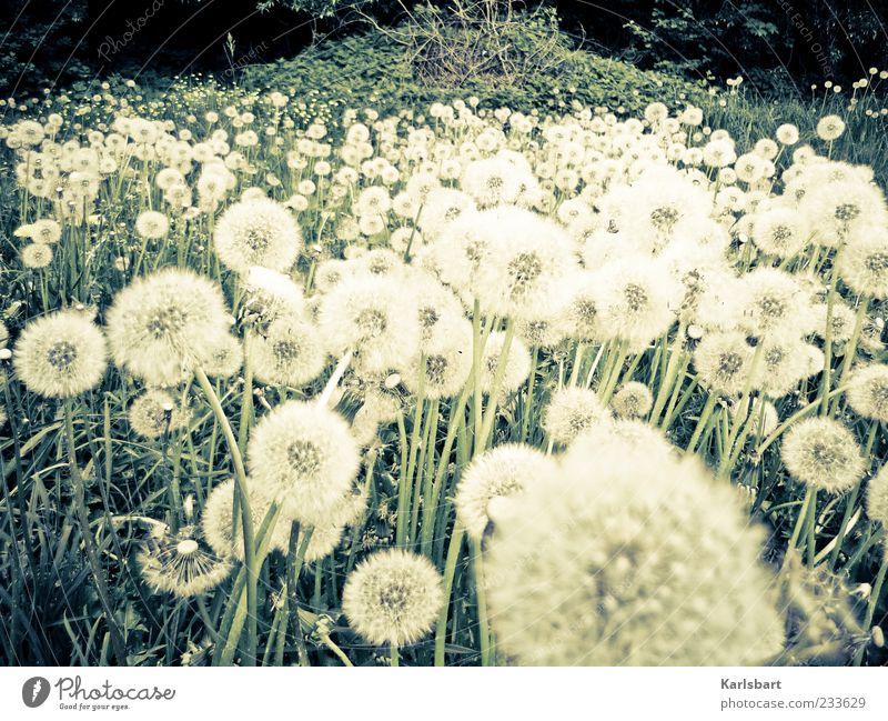 pustekuchen. Natur Pflanze Sommer Blume Umwelt Landschaft Wiese Gras Frühling Freiheit Garten Feld Wachstum Sträucher Wandel & Veränderung viele
