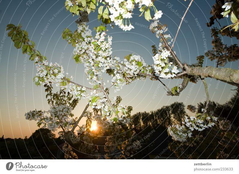 Angeblitzte Kirschblüten Natur Baum Pflanze Blüte Frühling hell Ast Blühend Zweig Wolkenloser Himmel Nutzpflanze Kirschbaum Sonnenstrahlen