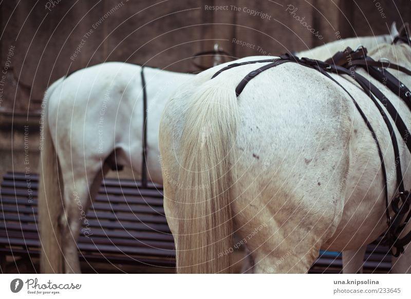 233645 Tier Nutztier Pferd Fell Schwanz Schimmel stehen weiß Hinterteil Zaumzeug Farbfoto Außenaufnahme Menschenleer Schwache Tiefenschärfe Zentralperspektive