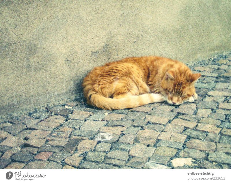 müde Mieze Mauer Wand Bürgersteig Pflastersteine Tier Haustier Katze 1 schlafen authentisch niedlich grau friedlich ruhig Halbschlaf weich Fell Putz