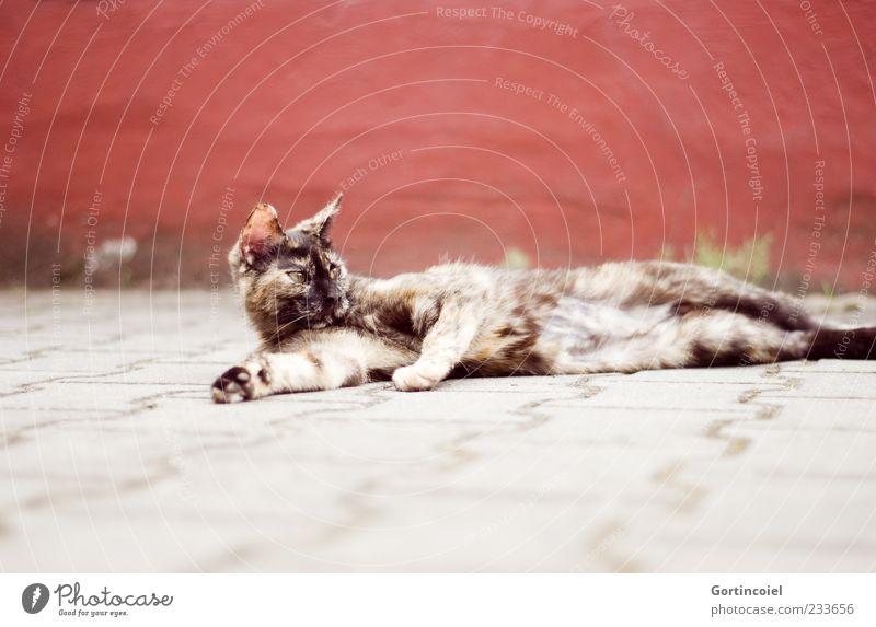 Chili chillt. rot Tier Erholung grau Katze braun Tierjunges liegen Tiergesicht beobachten Fell Pfote Haustier Perspektive bräunlich ruhend