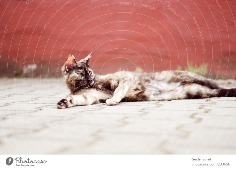 Chili chillt. Tier Haustier Katze Tiergesicht Fell Pfote 1 Tierjunges braun grau rot liegen Erholung Europäisch Kurzhaar schildpatt Menschenleer bräunlich