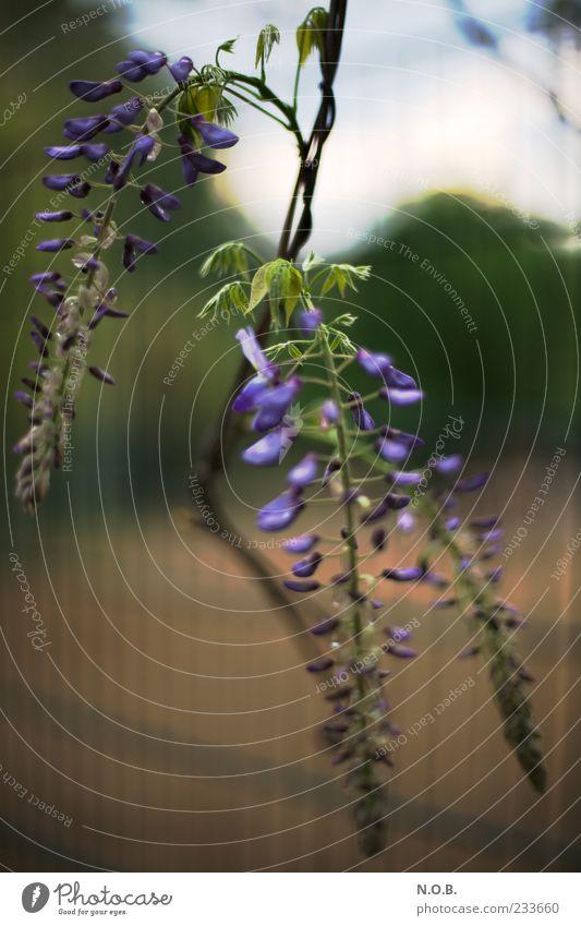 Frühlingskerzen Natur Pflanze ästhetisch frisch blau Wachstum Zaun Ranke Farbfoto Außenaufnahme Tag Schwache Tiefenschärfe violett Zweig Sträucher Blüte schön