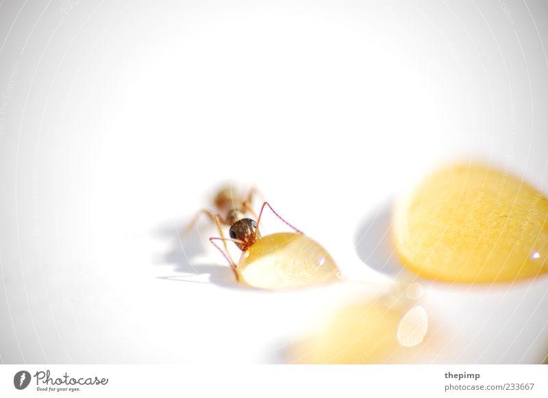 Flüssiges Gold weiß Tier gelb Leben braun gold süß Tropfen lecker genießen Fressen Honig Ameise Nahrungssuche