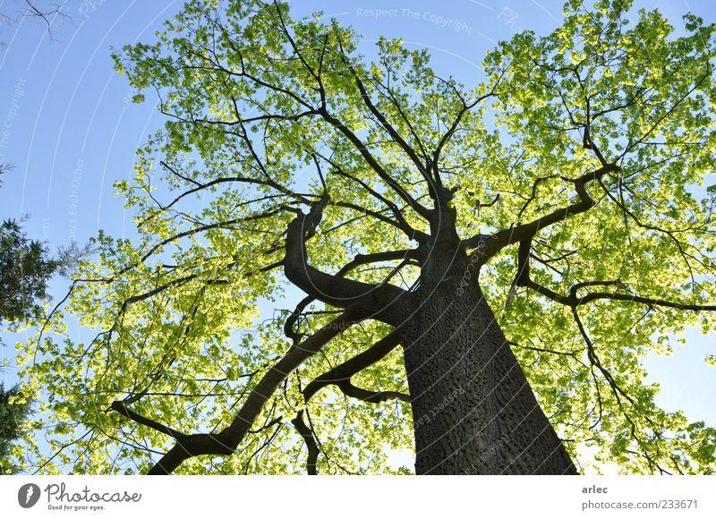 Nachhaltigkeit Natur Pflanze Himmel Wolkenloser Himmel Sonnenlicht Frühling Schönes Wetter Baum Blatt Park genießen hören Lächeln außergewöhnlich authentisch