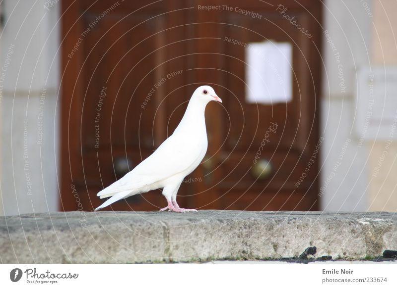 Friedenstaube weiß Tier Mauer elegant Symbole & Metaphern Zeichen edel Taube Schnabel gefiedert Holztür