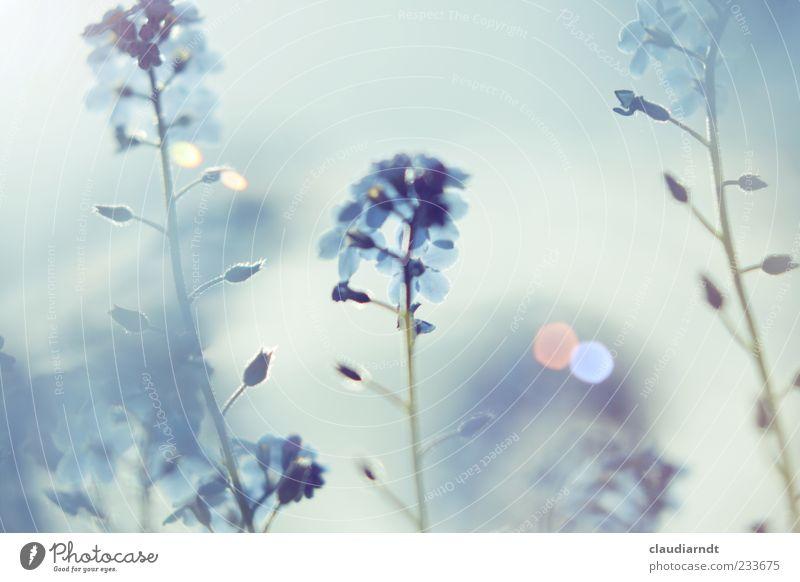 Traum Natur blau schön Pflanze Blume Frühling Blüte Garten träumen Nebel Schönes Wetter Stengel Blütenknospen Dunst Pastellton Blendenfleck