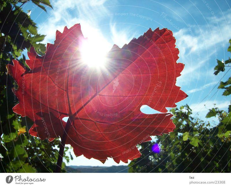 Weinblatt rot Blatt Wolken Herbst Leben hell Blauer Himmel Ahorn Weinberg Himmelskörper & Weltall Photosynthese Synthese bordeaux Essig