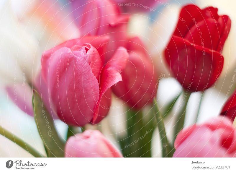 mein letztes blümchenbild... Natur schön rot Pflanze Blume Blatt rosa Dekoration & Verzierung Kitsch Blumenstrauß Tulpe Blütenblatt sommerlich Sommerblumen