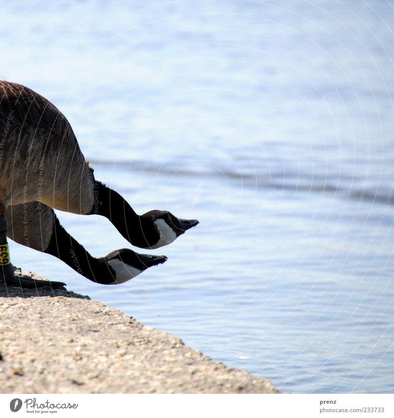 gänse am see Natur blau Wasser Tier Ferne Umwelt Landschaft Küste Mauer See Luft lustig braun Vogel warten Tierpaar