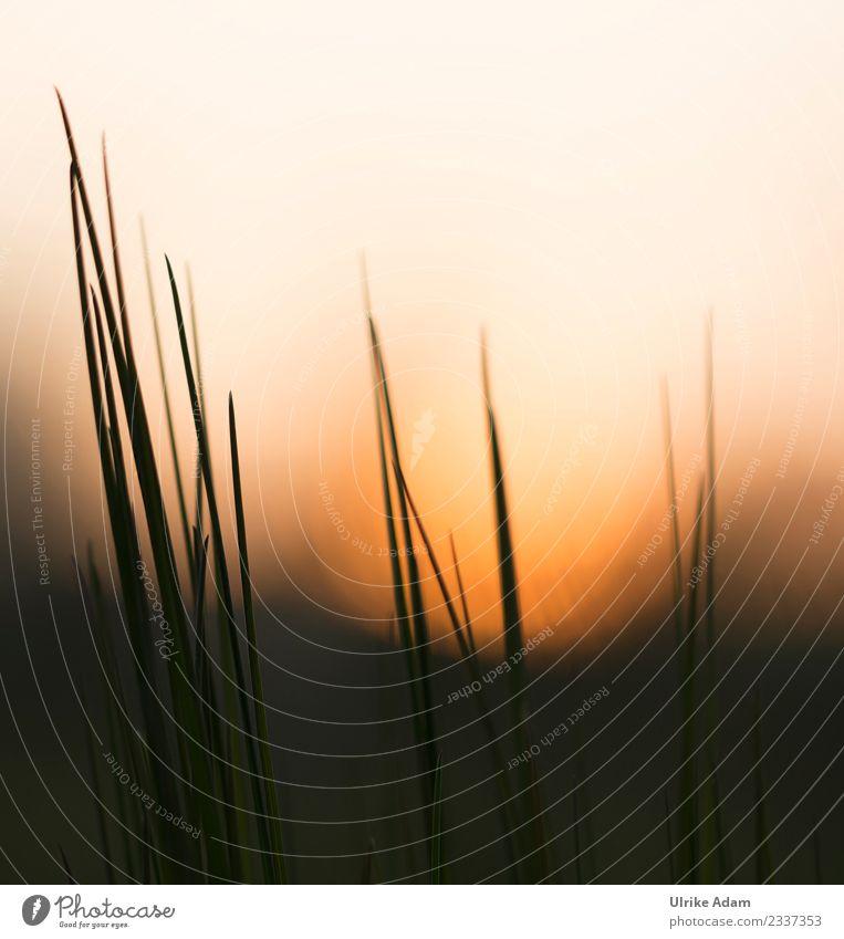 Grashalme bei Sonnenuntergang Natur Pflanze Sommer Erholung ruhig Leben Herbst Innenarchitektur Frühling Wiese orange Design Zufriedenheit leuchten
