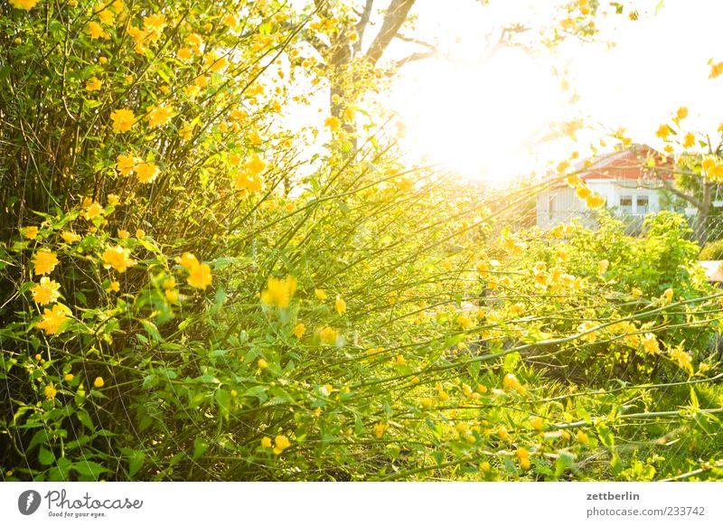 Ranunkel Natur Pflanze Frühling Klima Wetter Schönes Wetter Blüte Blühend Schrebergarten Zweig Ranunculus asiaticus Nachbar Gartenzaun Sträucher Farbfoto